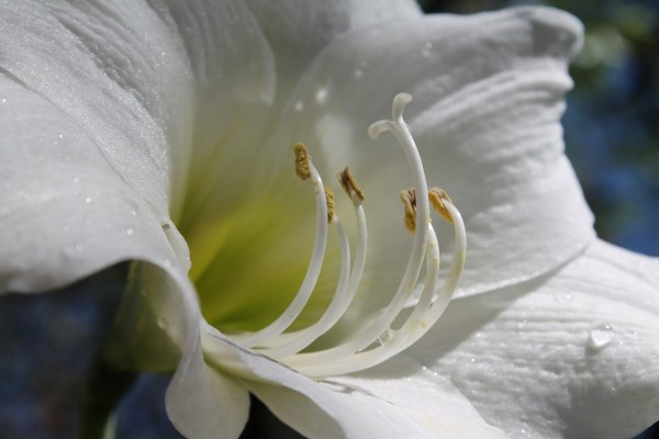 white-amaryllis-833521_960_720