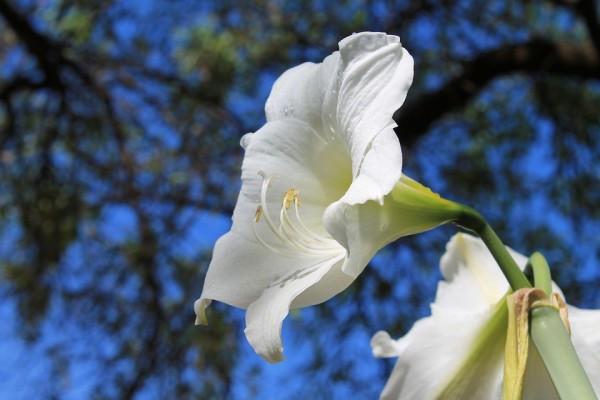 white-amaryllis-833526_960_720